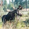Moose in morning sun