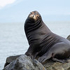 California Sea Lion, male