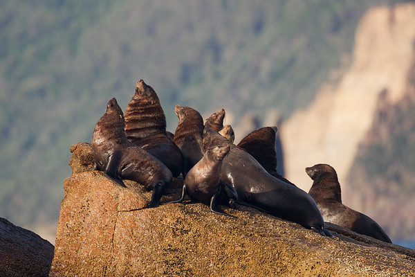 Brown fur seal