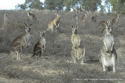 Eastern Grey Kangaroo 096