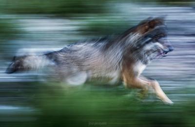 Gray Wolf (Canis lupus signatus)