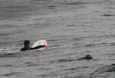 Surfer with Sea Otter
