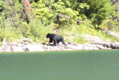 Black bear spotted across Avalanche Lake