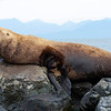 Steller's Sea Lion, male