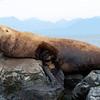 Steller's Sea Lion, male