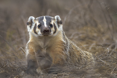 American Badger, Point Reyes National Seashore.