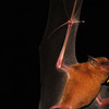 The Orange Nectar Bat (<i>Lonchophylla robusta</i>) drinks its nectar in quite an unconventional manner. The bat has bristles covering its tongue, that when dipped into a flower or hummingbird feeder, draw the nectar up into the bat's mouth, similar to capillary action.