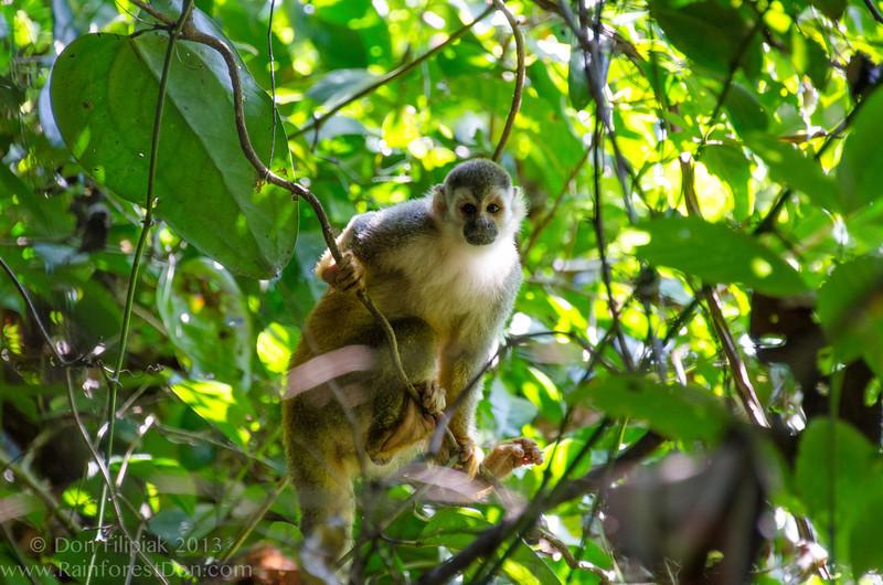 Central American Squirrel Monkey (<i>Saimiri oerstedii</i>), the smallest primate in Costa Rica