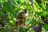 Central American Squirrel Monkey (<i>Saimiri oerstedii</i>), the smallest primate in Costa Rica