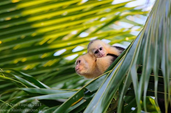 White-faced Capuchin (<i>Cebus capucinus</i>)