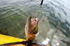 I took one of the kayaks out on the bay this afternoon in an attempt to catch myself dinner. Unfortunately all I ended up with were undersized Mangrove snapper and this little toothy missile. I did have some dolphins swim right by the kayak though!<br /> Great Barracuda<br /> August 2013