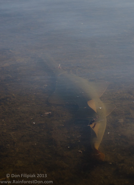 Smalltooth sawfish (<i>Pristis pectinata</i>) Florida Bay, Everglades National Park, Florida