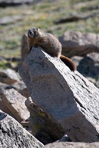 Basking Marmot