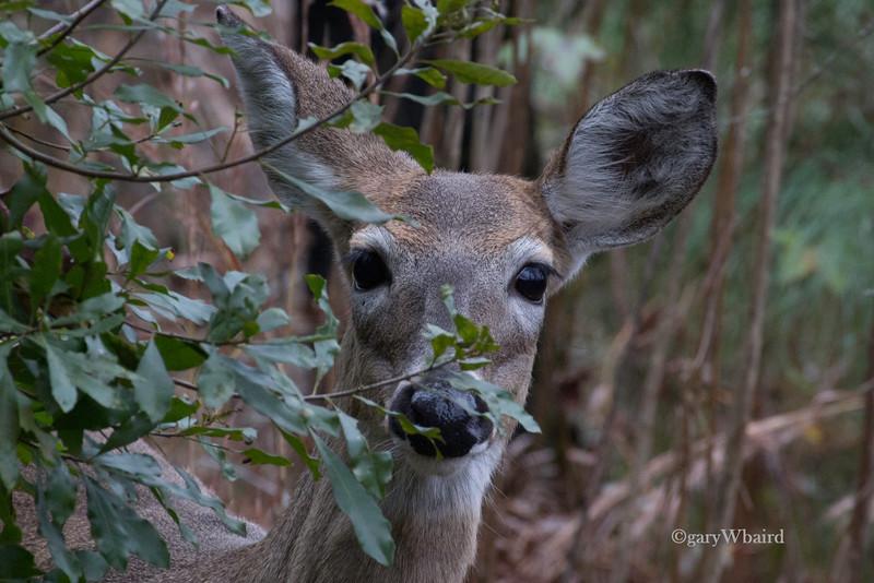 Peek-a-boo Doe