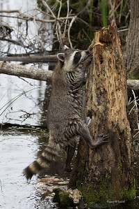 Raccoon Climbing