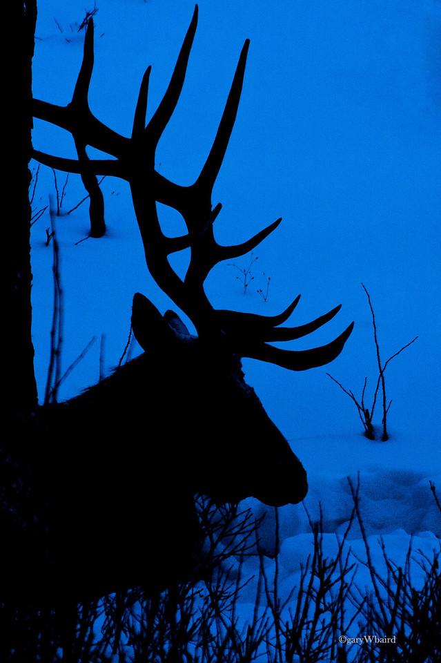 Night Elk Silhoette