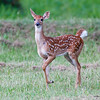 Fawns_20070607_