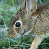 Young Cotton tail rabbit