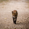 2016 - Jeune renard imprudent