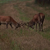 2014 - Simulation de combat avant le brame pour ces cerfs encore un peu jeunes