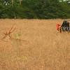 2012 - Le cerf apprécie le colza, pour le manger pendant l'hiver, pour s'y cacher au printemps (et accessoirement le manger avant qu'il soit mûr)