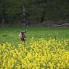 """2012 - Cerf ayant perdu ses bois quelques semaines plutôt, la """"ventrée"""" de colza va aider la repousse de ses bois"""