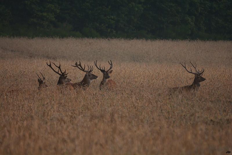 2014 - Cerfs mâles en plein juillet en velours sauf pour le deuxième à gauche