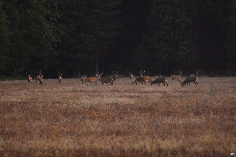 2014 - Aucun intérêt technique, juste pour la harde. Seulement 18 cerfs mâles dans le cadre sur les 23 présents ce matin là.