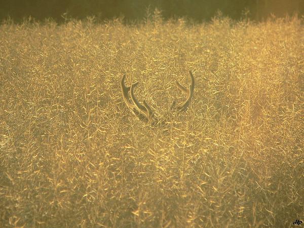 2008 - Cerf en velours dans le colza mûr