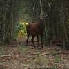 2012 - Cerf au détour d'un layon un matin de brâme