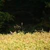 2014 - Biche très attentive à l'approche du millet