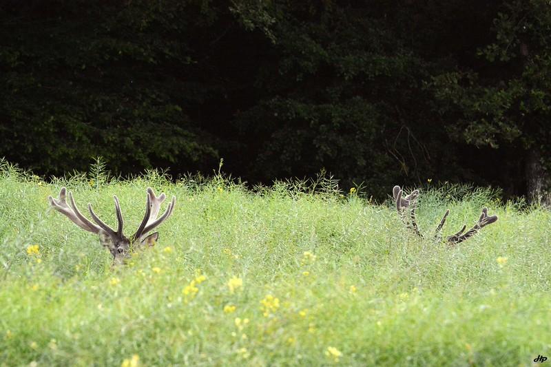 2014 - 2 grands cerfs mangeant au milieu du colza. Ils apprécient cette culture qui les abrite et les nourrit tout en évitant d'abîmer leurs bois qui repoussent.