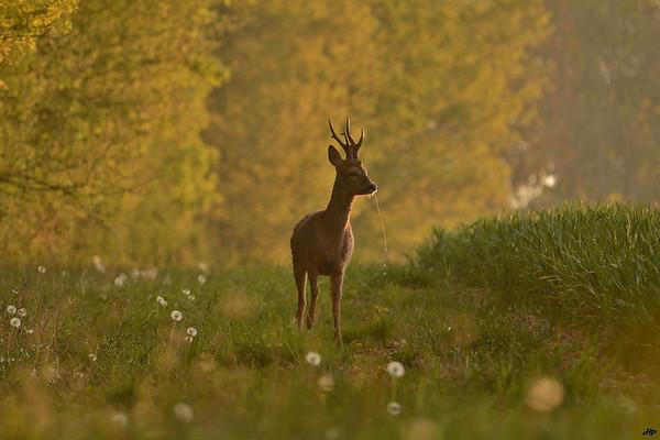 2014 - Très joli brocard faisant le tour de son territoire un matin de printemps