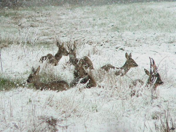 2006 - Il neige, les chevreuils cherchent à s'abriter. Le brocard de droite perd ses velours en ce mois de fevrier