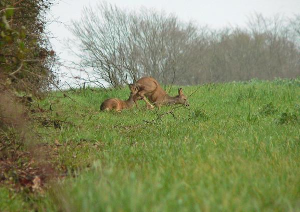 2007 - Jeunes chevreuils, le premier en train de se coucher