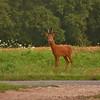 2013 - Brocard en pleine inspection matinale de son territoire pendant le rut