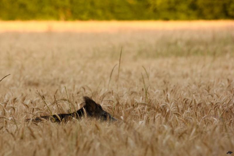 2014 - Laie mangeant du blé un matin de juillet