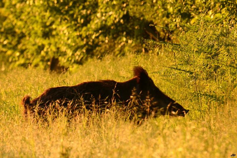 2014 - Gros mâle rentrant au bois au lever du soleil.