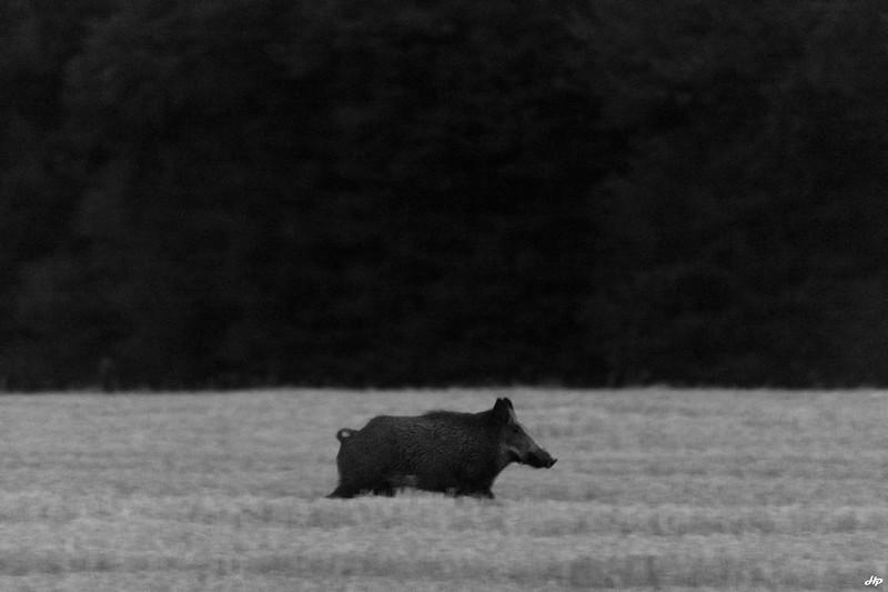 2015 - Mâle pressé de rentrer au bois un matin