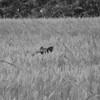 """2013 - Sanglier aux aguets pendant une """"orgie"""" de blé"""