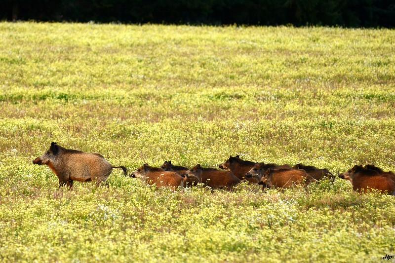 2014 - Compagnie de sangliers, la laie suivie de ses bêtes rousses du printemps