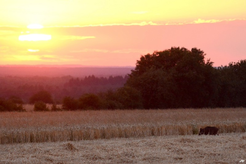 2014 - Sanglier allant se nourrir de blé au coucher de soleil