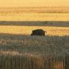 2008 - Beau sanglier mâle allant se mettre à table dans un champ de blé