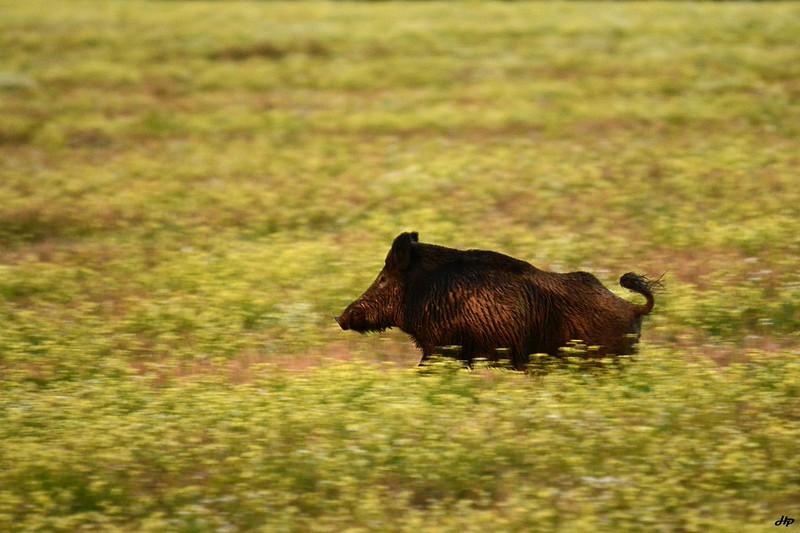 2014 - Sanglier mâle très prudent à la sortie du bois