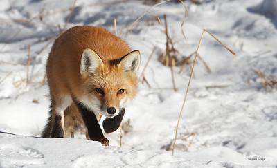 Renard- chassant l'écureuil le 18 Janvier 2013.