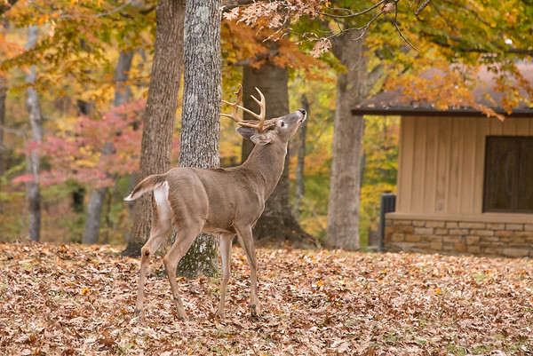 A 10 point buck reaches for leaves to nibble on
