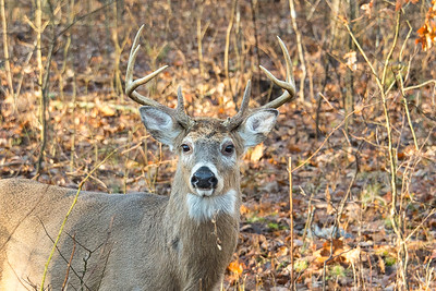 A large buck feeds on woody browse and acorns. The winter coat is darker than in summer months