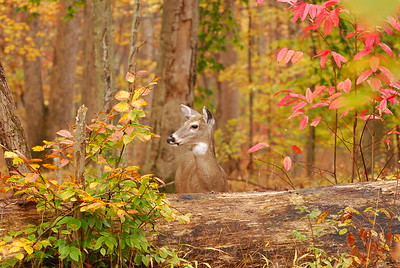 Doe near the cabins at Mammoth Cave National Park