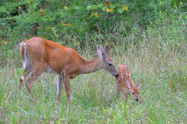 Mother deer taking good care of the newborn fawn - Mammoth Cave National Park