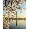 Washington Monument and Cherry Blossoms, Washington, DC